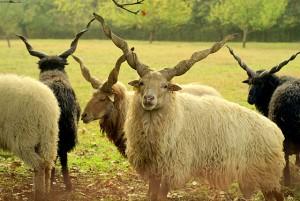 Racka schapen