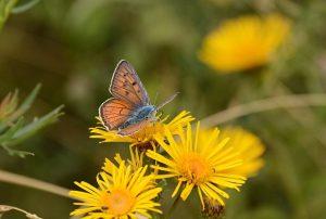 Bükk nationale park hongarije Violette Vuurvlinder 02